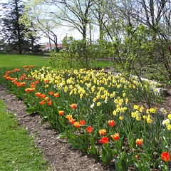 Lombard, IL, Lilacia Park, Spring, Orange and Yellow Tulip Bed (Mary Warren 13.6+ Million Views) Tags: lombardil lilaciapark nature flora plants blooms blossoms flowers park garden spring yellow red orange tulips trees