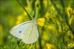 ...la cavolaia, bella ma insidiosa per l'orto... the cabbage butterfly, beautiful but harmful to the vegetable garden (adrianaaprati) Tags: cabbagewhitebutterfly butterfly flowers june spring macro pieridi