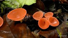 Cup Mushroom, Cookeina speciosa, Sarcoscyphaceae (Ecuador Megadiverso) Tags: andreaskay cookeinaspeciosa ecuador fungus mushroom sarcoscyphaceae