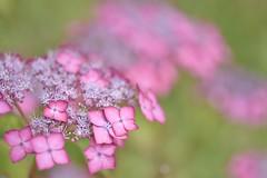 wild hydrangea (snowshoe hare*(catching up)) Tags: dsc0962 hydrangea flowers uminonakamichiseasidepark 紫陽花 アジサイ lacecaphydrangea wildhydrangea ヤマアジサイ
