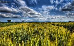 Campagna (bruzzodani) Tags: countryside sky nuvole clouds nikon campidigrano grano piemonte landscape campagna