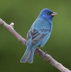 Indigo Bunting (Yer Photo Xpression) Tags: ronmayhew indigobunting blue bird male canon tamron coth alittlebeauty coth5