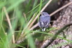 Babby Gnatcatcher (curious_spider) Tags: fledgling bird bluegraygnatcatcher gnatcatcher gray blue birb baby