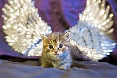 20190613_7748c (Fantasyfan.) Tags: kuunkissan breed european raitapaita fantasyfanin kitten angelic