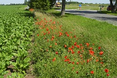 Mohnfeld bei Altefähr (Carl-Ernst Stahnke) Tags: altefähr feld mohnblumen rügen sommer rüben