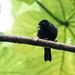 Jamaican Blackbird