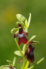 Meadow Fly Orchids - Ophrys insectifera (favmark1) Tags: kent orchids kentorchids britishorchids wildorchids flyorchid ophrysinsectifera