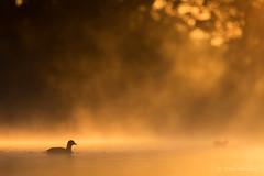 Ambiance matinale (PatNik01) Tags: rouge oiseau etang nikon dombes france nature soleil brume ambiance wild wildlife