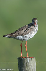 Common Redshank  /Rödbena (Tringa totanus) (Hans Olofsson) Tags: bird fågel fåglar natur nature ottenby rödbena sweden öland
