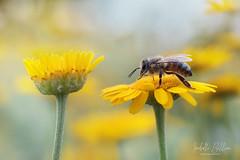 Faire un choix (isabelle 31) Tags: jaune abeille fleur macro
