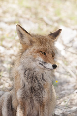 Raposa-vermelha (Vulpes vulpes) (mariapinto87) Tags: raposavermelha vulpesvulpes fox foxes animais mamiferos wild selvagem liberdade fotografia arte art vidaselvagem wildlife wildmoments