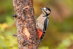 Great Spotted Woodpecker D85_7111.jpg (Mobile Lynn) Tags: nature greatspottedwoodpecker birds woodpecker bird dendrocoposmajor fauna forest picidae piciformes tree wildlife coth specanimal coth5