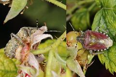 EOS 7D Mark II_085387_C (Gertjan Kamsteeg) Tags: animal invertebrate bug macro insect wants truebug heteropteran heteroptera pentatomidae schildwants bessenwants bessenschildwants dolycorisbaccarum sloebug shieldbug hairyshieldbug