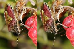 EOS 7D Mark II_085383_C (Gertjan Kamsteeg) Tags: animal invertebrate bug macro insect wants truebug heteropteran heteroptera pentatomidae schildwants bessenwants bessenschildwants dolycorisbaccarum sloebug shieldbug hairyshieldbug