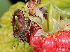 EOS 7D Mark II_085375 (Gertjan Kamsteeg) Tags: animal invertebrate bug macro insect wants truebug heteropteran heteroptera pentatomidae schildwants bessenwants bessenschildwants dolycorisbaccarum sloebug shieldbug hairyshieldbug