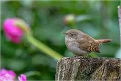 House Wren (Summerside90) Tags: birds birdwatcher housewren june spring backyard garden nature wildlife ontario canada