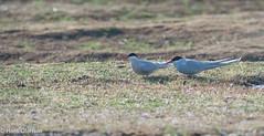 Arctic tern /Silvertärna (Sterna paradisaea) (Hans Olofsson) Tags: bird fågel fåglar natur nature ottenby sweden öland silvertärna arctictern sternaparadisaea tärna tern
