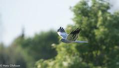 Montagu's Harrier  /Ängshök (Circus pygargus) (Hans Olofsson) Tags: bird fågel fågelar fåglar natur nature ottenby rödbena sweden öland ängshök
