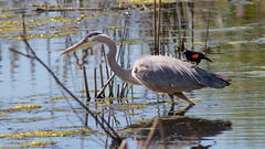 Great Blue Heron with Blackbird on Back (Gary R Rogers) Tags: pond fishing redwingedblackbird water heron bird blackbirdomback greatblueheron horizontal lake marsh