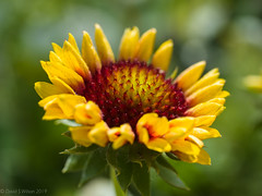 2019 #137 (David S Wilson) Tags: england flowers cambridgeshire panasonicdmcgm5 leica2845mmmacro ely davidswilson 2019 lightroom floral