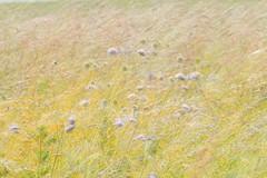 Zéphir chanpêtre- Fleurs de trèfle (renécarrère) Tags: champ trèfle