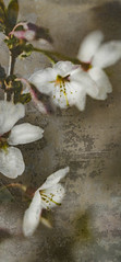 Blossom Grunge (judy dean) Tags: judydean 2019 lensbaby blossom cherry flowers white texture ps panel