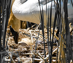 The Best is Yet to Come (Scott M. Mohn) Tags: trumpeterswan nest eggs wildgrass beak feathers wildlife nature birdwatching mother