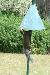 Cone 3, Squirrel 0 (roger_forster) Tags: greysquirrel sciuruscarolinensis anticlimb cone birdfeeder alverstoke gosport hampshire hiwwt garden