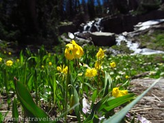 Glacier Lilies near the Inlet (annestravels2) Tags: ibantiklake utah uintamountains wildflowers glacierlilies waterfall