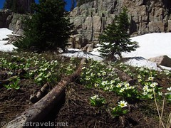 White Marsh Marigolds and Pines (annestravels2) Tags: ibantiklake utah uintamountains wildflowers marshmarigolds snow