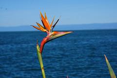 Bird of Paradise (Let Ideas Compete) Tags: flower flowers plant plants birdofparadise birdofparadiseflower lacléman lakegeneva switzerland