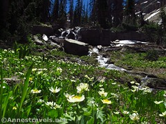 Marsh marigolds and the waterfall (annestravels2) Tags: ibantiklake utah uintamountains wildflowers marshmarigolds waterfall
