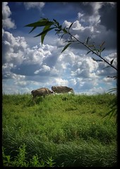 Cows (2) (James Rye) Tags: cattle cows pastoralidyll idyll pastoral bank welneywetlandcentre clouds iphone7plus