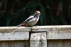 Garden Birds, May/June 2019 (Ian Macfadyen) Tags: gardenbird woodpecker greatspottedwoodpecker feeder hangingfeeder juvenilewoodpecker juvenilegreatspottedwoodpecker