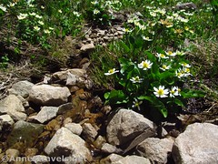 White Marsh Marigolds (annestravels2) Tags: ibantiklake utah uintamountains wildflowers marshmarigolds stream