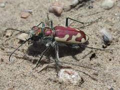 Cicindela lengi lengi, male (tigerbeatlefreak) Tags: cicindela lengi insect tiger beetle coleoptera cicindelidae nebraska