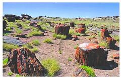 12 FlagGazer (Rocky's Postcards) Tags: postcard petrifiedforest nationalpark flaggazer desert arizona logs stumps