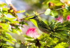 0P7A7723  Red-legged Honeycreeper, female , Panama (ashahmtl) Tags: redleggedhoneycreeper bird honeycreeper female cyanerpescyaneus elvalledeanton cocleprovince panama