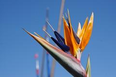 Geneva Beauty (Let Ideas Compete) Tags: flower flowers plant plants birdofparadise birdofparadiseflower