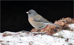 Junco (jerrywb2010) Tags: idaho newmancreek bakercreekdrainage woodrivervalley snra fauna birds snow