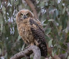 Great Horned Owl (X91_6892-1) (Eric SF) Tags: greathornedowl owl owlet raptor huntingtonbeachcentralpark california