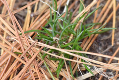 slender pinweed sprouts (ophis) Tags: malvales cistaceae lechea lecheatenuifolia slenderpinweed