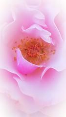 Pink Cloud (TyroCharm) Tags: pink flowers nature flora summer spring cloudy tyrocharm bloom closeup floweroftheday garden roses
