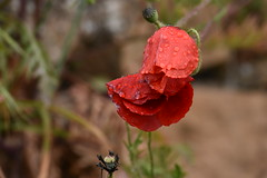 Amapolas en un día lluvioso (esta_ahi) Tags: huesca amapola papaverrhoeas papaveraceae flor flora flores silvestres red olvena somontano somontanodebarbastro aragón spain españa испания gotas lluvia rain drops