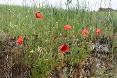 Amapolas en un día lluvioso (esta_ahi) Tags: huesca amapola papaverrhoeas papaveraceae flor flora flores silvestres red olvena somontano somontanodebarbastro aragón spain españa испания