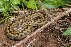 Adder 1 (Matchman Devon) Tags: adder viper berus tobys path ringmore south hams devon