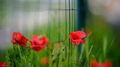Fence Friday - 6920 (✵ΨᗩSᗰIᘉᗴ HᗴᘉS✵62 000 000 THXS) Tags: hff fence fences happyfencefriday poppy poppies red nature fuji fujifilm fujifilmgfx50s sigmaart