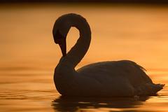 'Eventide' (Jonathan Casey) Tags: swan sunset whitlingham lake broads norfolk uk nikon d850 400mm f28 vr