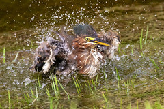 Little Green Heron Taking a Bath (dbadair) Tags: outdoor water nature wildlife 7dm2 7d ii ef100400m canon florida bird