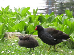 IMG_1901 baby moorhen flapping her little wings, with mama (belight7) Tags: park birds pond uk nature england